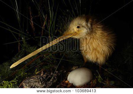 Kiwi bird and an egg in New Zealand. stock photo