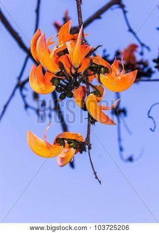Butea Monosperma Flower , beauty in nature stock photo