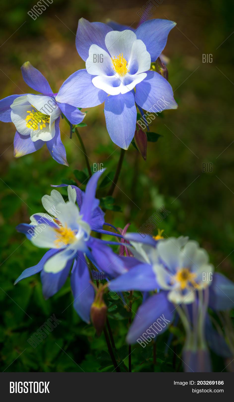 colorado columbine aquilegia caerulea photo stock aspen izmirmasajfo