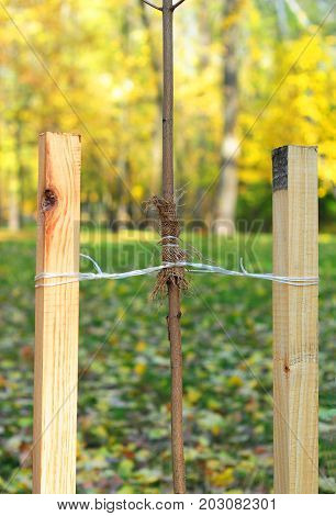 How to Plant a Tree Correctly with Two Stakes. Planting Trees in Autumn. If your tree is still a sapling use a stake to help it grow for about the first year of its life. stock photo