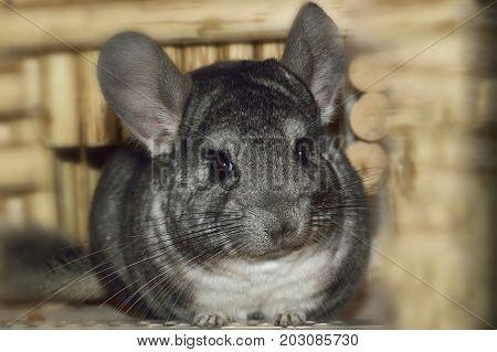 Chinchilla in a cage. Chinchilla at home. Chinchilla portrait stock photo