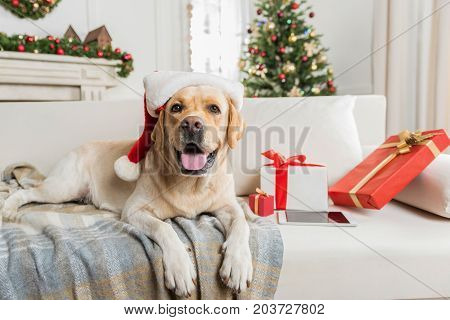 Four legged Santa. Cute big dog is lying on sofa among Christmas presents. Decorated tree is on background. Copy space on the right side stock photo