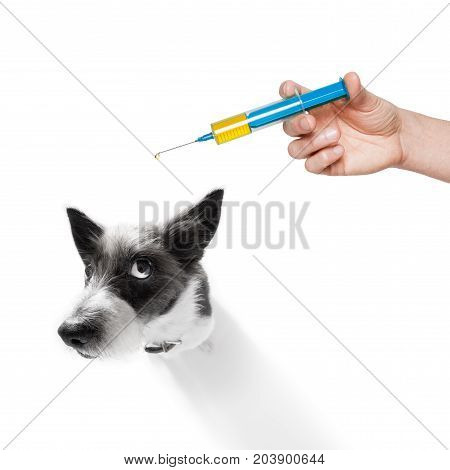 sick and ill poodle dog isolated on white background with syringe vaccine scared look on face stock photo