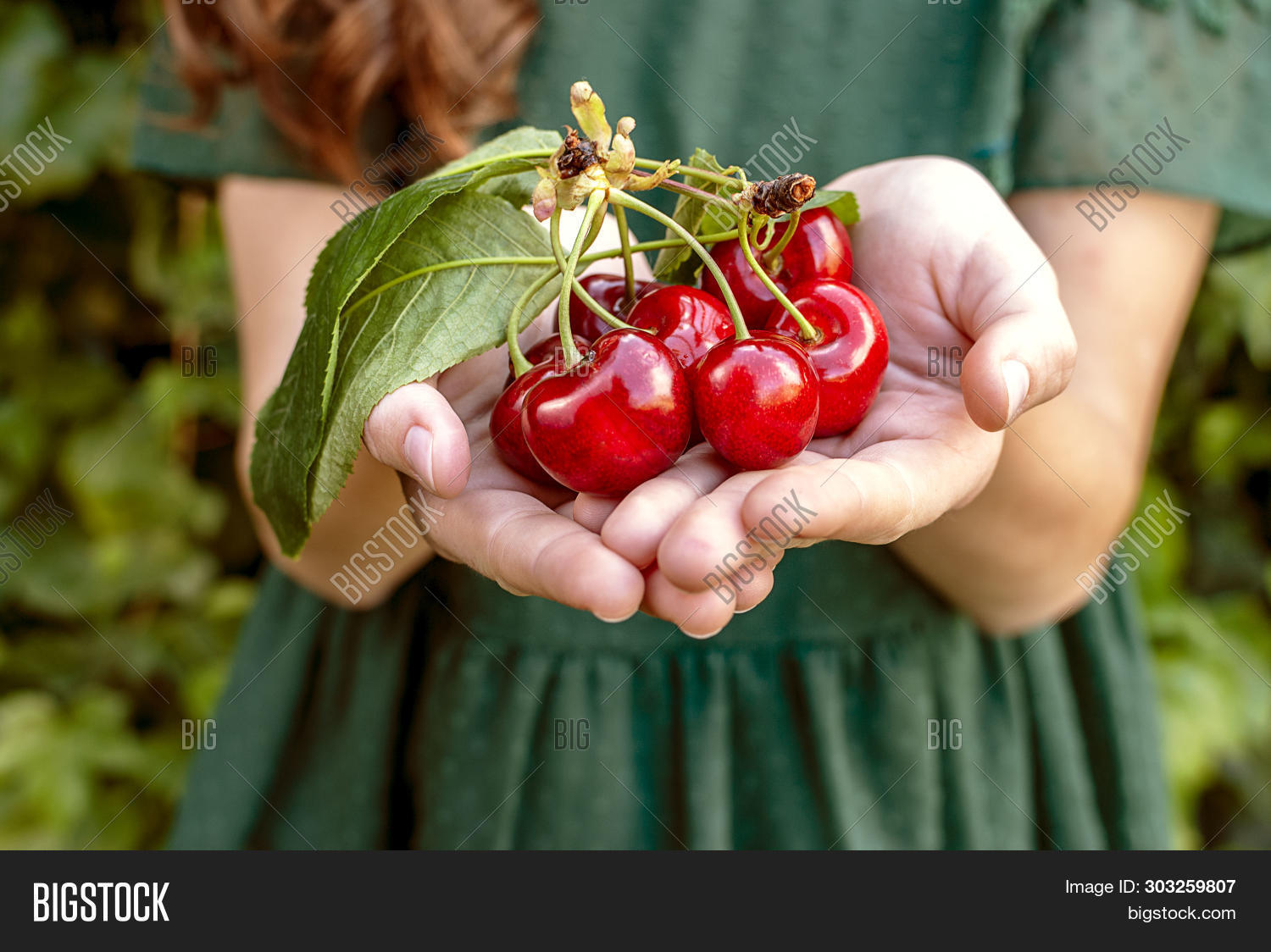 Isolated young woman with big red cherries in her hands. Cherry with leaf and stalk. Cherries with leaves and stalks. One person on the natural green background. Big variety of cherries. Varieties: Frisco, red Giant, bloom cherries. Good harvest of