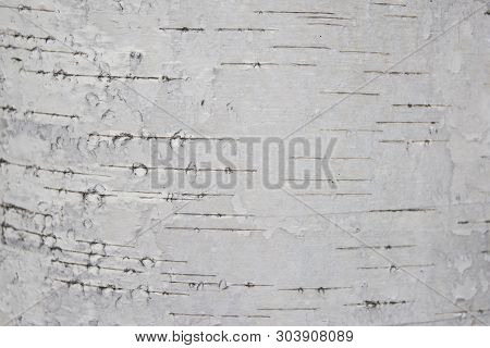 Texture of white bark of birch. Texture of white bark of birch stock photo