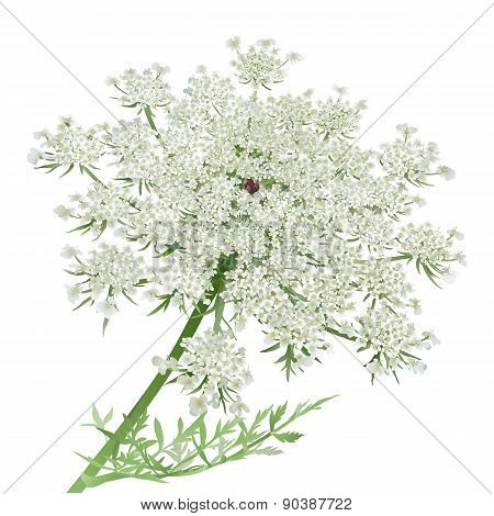 Queen Anne\'s Lace