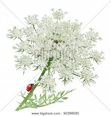 Ladybug on Queen Anne\'s Lace