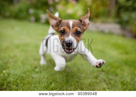 cheerfully running little puppy