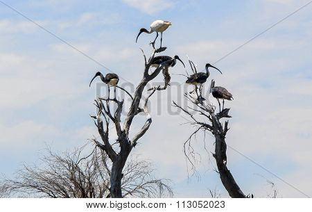 Australian White Ibis standing in the tree tops with Straw-necked Ibises underneath it at Lake Coogee wetland area in Western Australia. stock photo