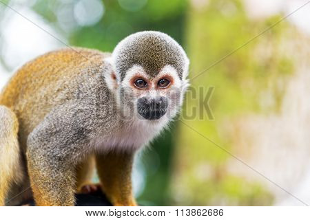 Closeup of a squirrel monkey in the Amazon rain forest in Colombia stock photo