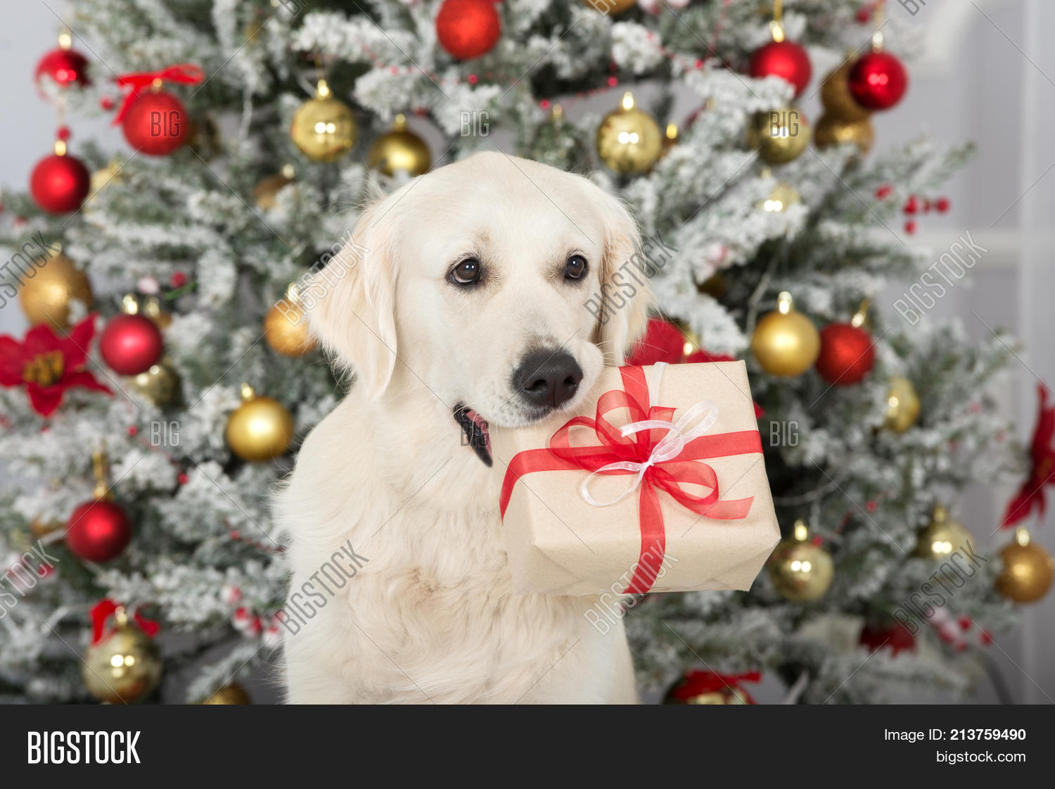 animal,background,box,celebration,cheerful,christmas,cute,december,dog,doggy,domestic,funny,fur,gift,giving,golden,happiness,happy,holding,holiday,humor,looking,new,paper,pedigreed,pet,portrait,present,red,retriever,ribbon,santa,season,studio,tree,tricks,white,winter,xmas,year