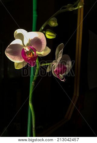 Orchid. White orchid in the dark under the light of a lamp. stock photo