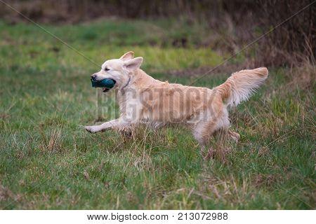 Dog on the run. Breed dog Golden Retriever