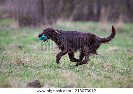 Dog on the run. Breed dog Flat Coated Retriever