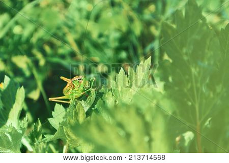 Big green grasshopper sitting on a green leaf in beautiful sunlight macro close-up background with blurred green soft focus artistic grass texture. Copy space. stock photo