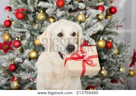 golden retriever dog holding a gift box for Christmas stock photo