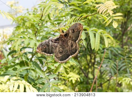 Saturnia pyri, the Giant Peacock Moth, is a Saturniid moth which is native to Europe. stock photo