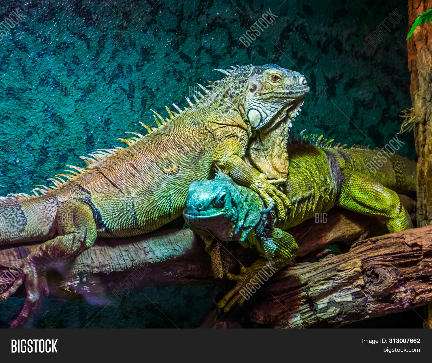 America,Brazil,Iguanidae,adult,american,animal,arboreal,behavior,bright,caribbean,closeup,colored,colorful,dominance,dominant,dominating,exotic,face,female,funny,green,head,herpetoculture,herpetology,iguana,lizard,locomotion,male,mature,pet,popular,portrait,reptile,reptilian,specie,species,tropical,vibrant,vivid,zoo,zoology