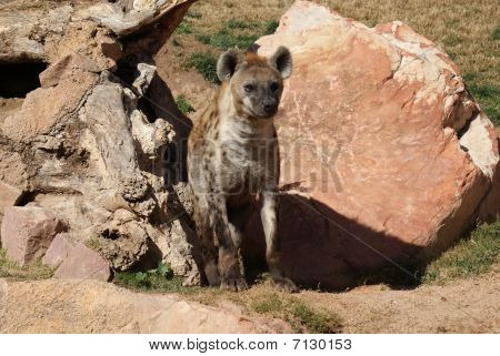 Captured close image of a Spotted Hyena (Canidae) stock photo