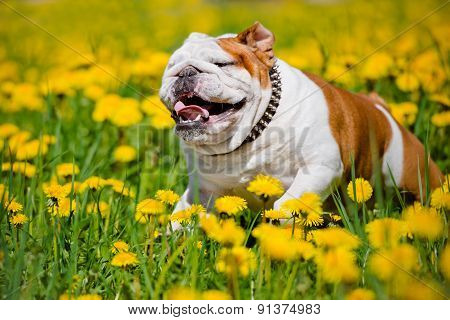 english bulldog on a dandelions field