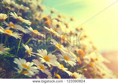 Spring Daisy flowers border. Beautiful nature scene with blooming chamomiles in sun flare. Sunny day