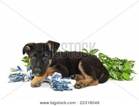German Shepherd puppy laying with his blue toy on a white background with copy space. stock photo