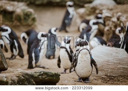 A Black Footed Penguin in a zoo staring at the camera with other penguins in the background. stock photo