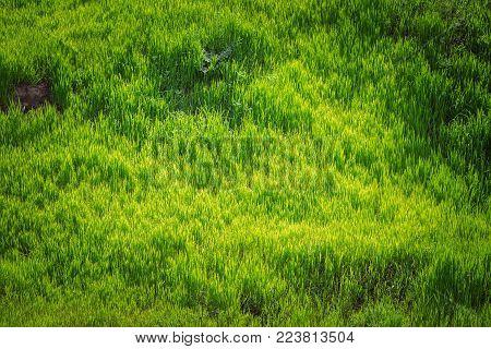 Grass texture. Fresh green spring grass with dew drops background, closeup. Sun. Soft Focus. Abstract Nature spring Background, springtime. Environment concept, lawn, Meadow grass stock photo