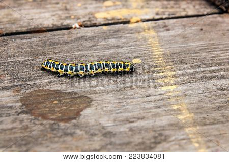 Beautiful caterpillar creeps on vintage wooden background. Caterpillar of the Old World Swallowtail (Papilio machaon), a butterfly of the family Papilionidae. The butterfly is also known as the common yellow swallowtail or simply the swallowtail. stock photo
