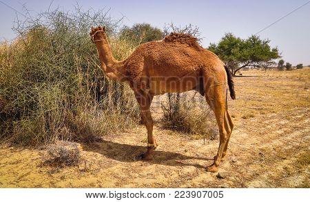 A camel standing on Thar Desert in Jaisalmer, Rajasthan, India. stock photo