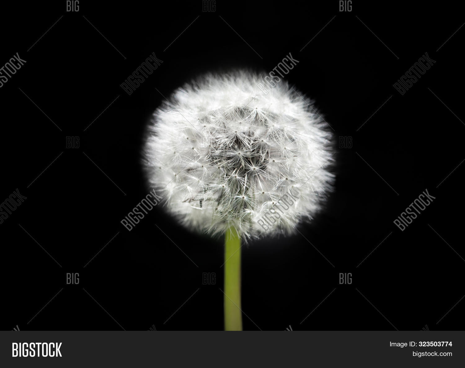 art,background,beautiful,beauty,black,blooming,blossom,blowing,bright,close-up,closeup,color,concept,dandelion,delicate,design,detail,dry,field,flora,flower,fluffy,fragility,garden,green,head,horizontal,isolated,light,macro,nature,outdoors,parachute,plant,relaxation,season,seed,soft,softness,spring,stem,summer,symbolic,taraxacum,wallpaper,weed,white,wish