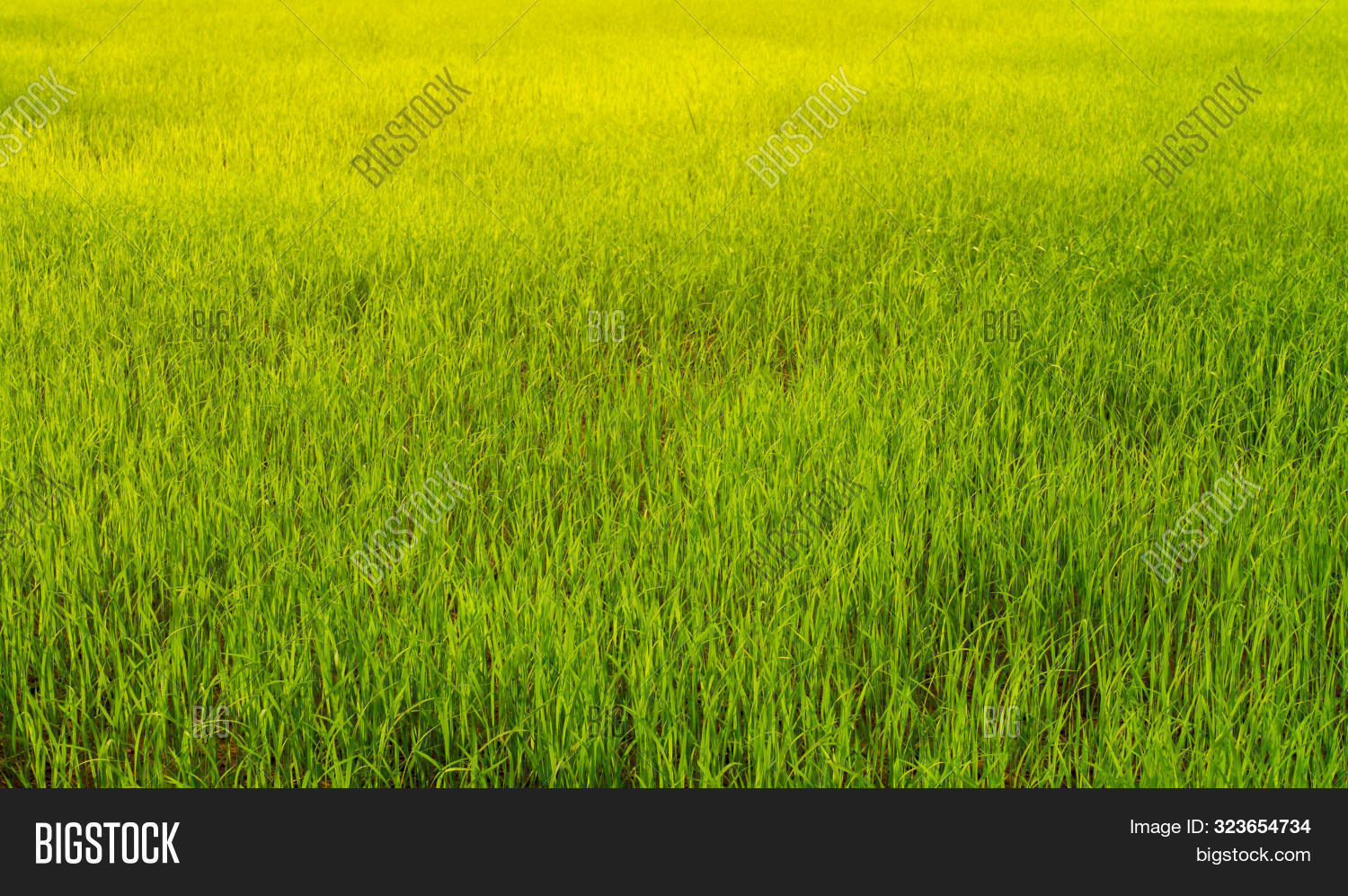 Rice Seedlings In Rice Field Green Background. Agriculture, An Organic Asian Farm. Young Growing Ric