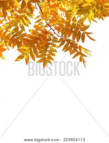 Branches with colorful autumn leaves isolated on white background. Japanese pagoda tree stock photo