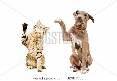 Cat Scottish Straight and pit bull puppy sitting together with raised paws isolated on white background stock photo