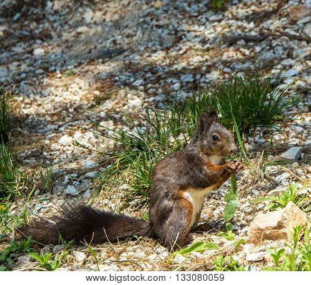 red squirrel with brown coat in Croatia eastern europe stock photo