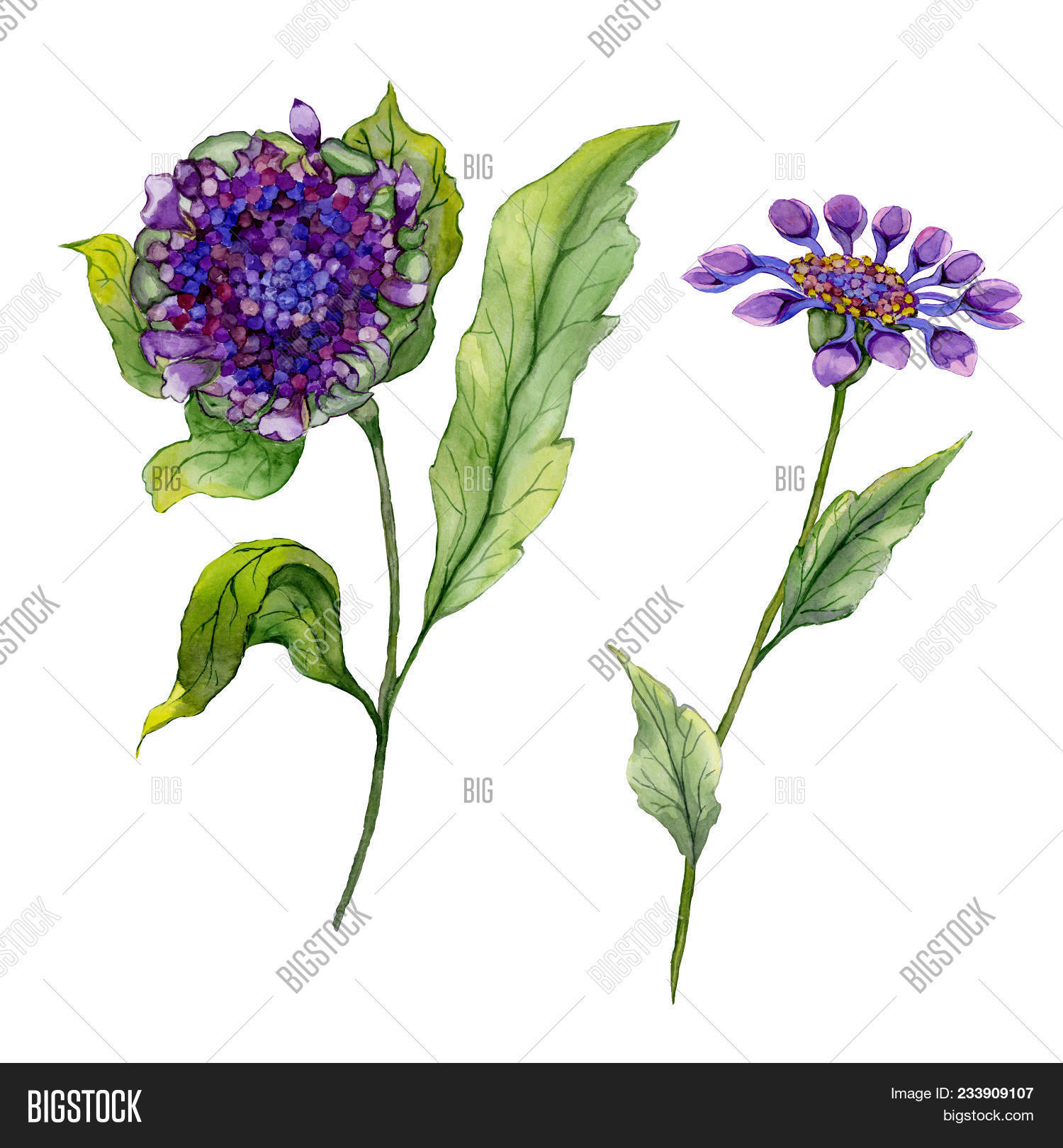 Beautiful Purple Osteospermum South African Daisy Flower On A