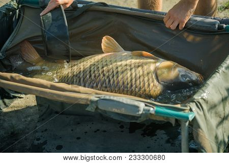 Carp with shining scales on sunny day, fishing. Big fish in water poured from bowl, capture. Carp fishing, angling, fish catching, capture. Trophy, success, achievement. stock photo