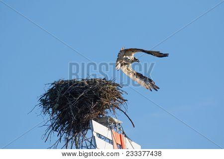 The Osprey (Pandion haliaetus), sometimes known as the sea hawk, fish eagle or fish hawk, is a diurnal, fish-eating bird of prey. Mackenzie river, Northwest territories ( NWT) Canada. stock photo