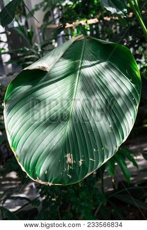 big topic green leaf of calathea marantaceae from brazil stock photo