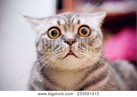 Young Crazy Surprised Cat Make Big Eyes Closeup. American Shorthair Surprised Cat Or Kitten On Sofa