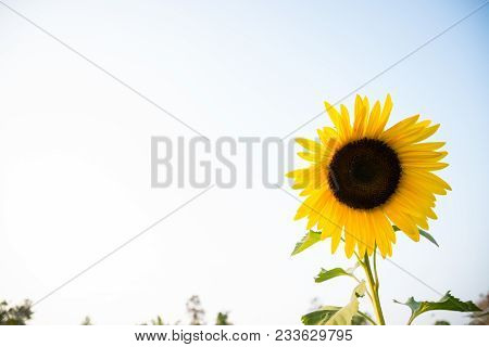 Sunflowers garden. Sunflowers have abundant health benefits. Sunflower oil improves skin health and promote cell regeneration. stock photo