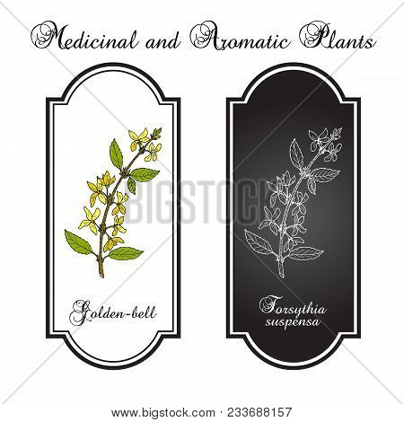 Golden bell Forsythia suspensa , medicinal plant. Hand drawn botanical vector illustration stock photo