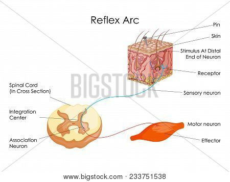 Education Chart of Biology for Reflex Arc Diagram. Vector illustration. stock photo