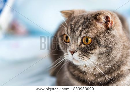 Noble proud British Shorthair cat with grey fur and yellow eyes stock photo