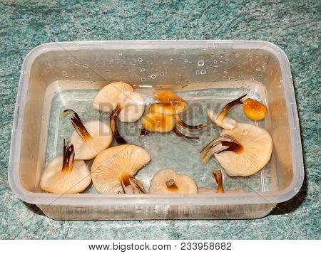 foraged mushrooms velvet shank counter top washed fungi; essex; england; uk stock photo