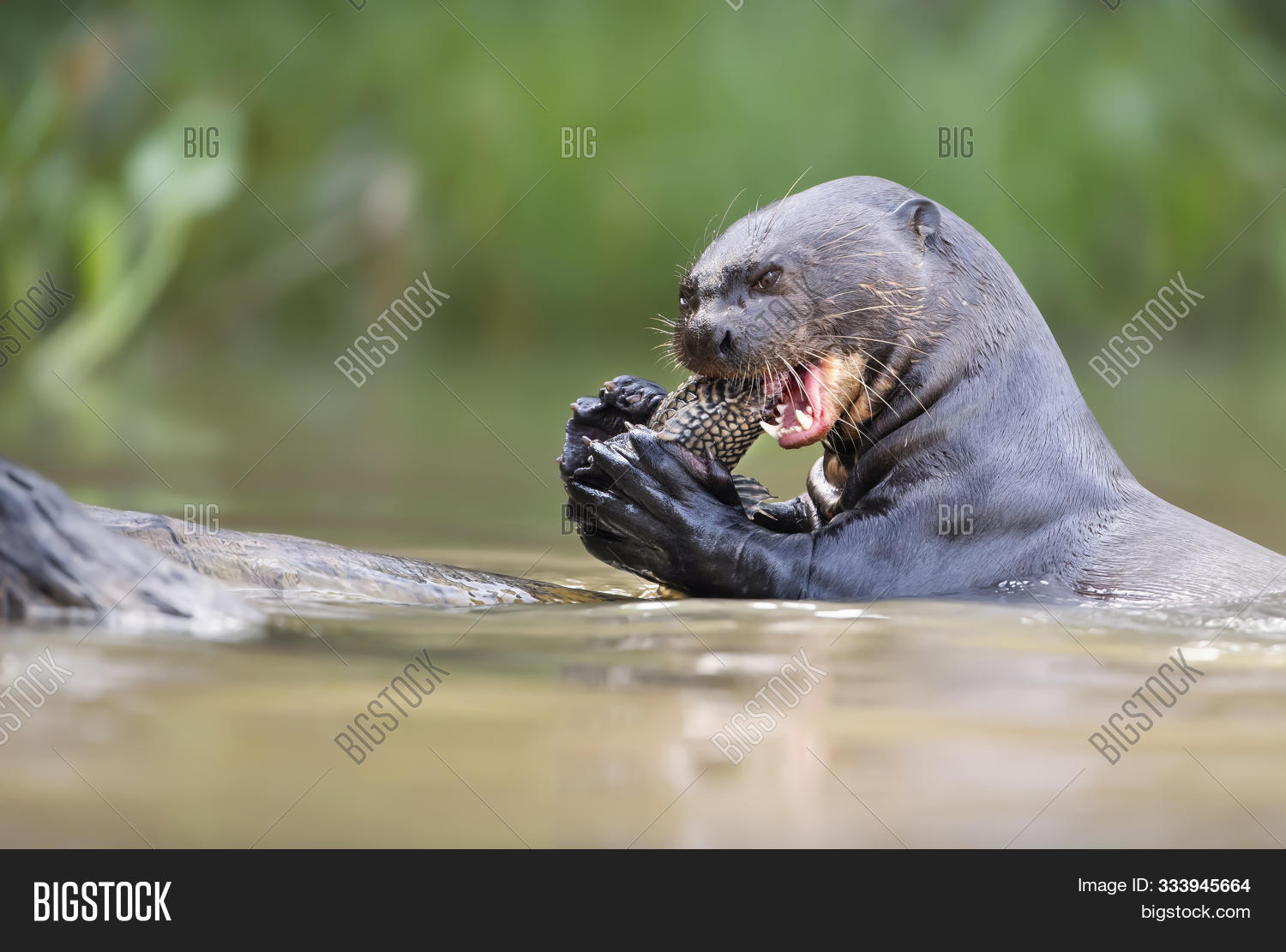 America,Brazil,Cuiaba,Grosso,Jofre,Mato,Pantanal,Porto,Pteronura,South,amazon,animal,bank,behavior,behaviour,big,brasiliensis,brazilian,cat,catfish,close,close-up,closeup,eat,eating,endangered,feeding,fish,fishing,giant,habitat,head,headshot,isolated,large,mammal,natural,nature,otter,portrait,river,riverbank,up,water,wild,wildlife