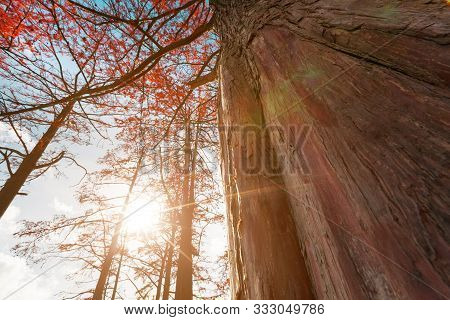 Cypress trees in autumn with red leaves against blue sky with sun rays. Majestic and Beautiful the trunks of cypress trees, view from below. stock photo
