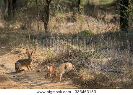 Indian Hare or Black Naped Hare or Lepus nigricollis pair playful on jungle track in early morning sunlight at ranthambore national park, rajasthan, india stock photo