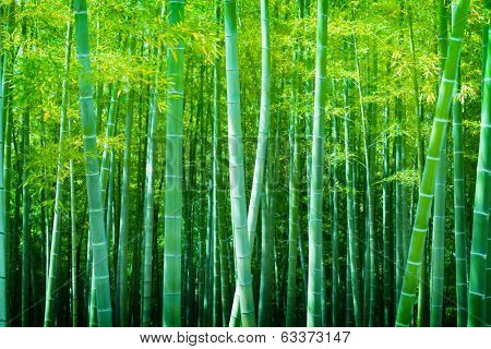 Beautiful bamboo forest, soft green bamboo forest with young bamboos.