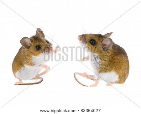 High-five sitting wild deer mice isolated on white. stock photo